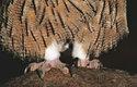 Výr Blakistonův má delší tenčí zobák a delší končetiny než výr velký