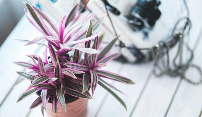 Pokud chcete hezké listy, je nezbytné rostlinu pravidelně přesazovat.