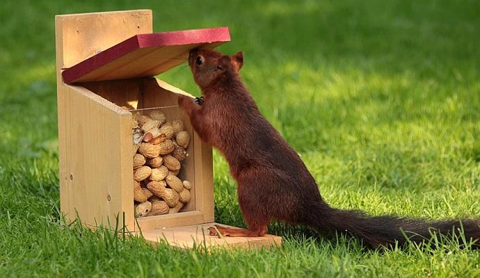 Veverky milují oříšky. Ale zatímco ptáčkům je potřeba ořechy vyloupat a podrtit, veverkám je nechte i se skořápkou. Jejich tlamička totiž funguje podobně jako louskáček.