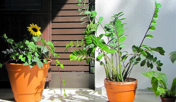 Skvělá rostlina, která přežije snad všechno, je takzvaný Zamiokulkas.