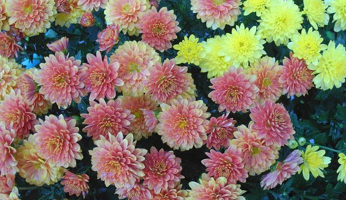 Chryzantémy síce na podzim krásně kvetou, na mráz jsou ale poměrně citlivé. Proto je musíte včas zazimovat.