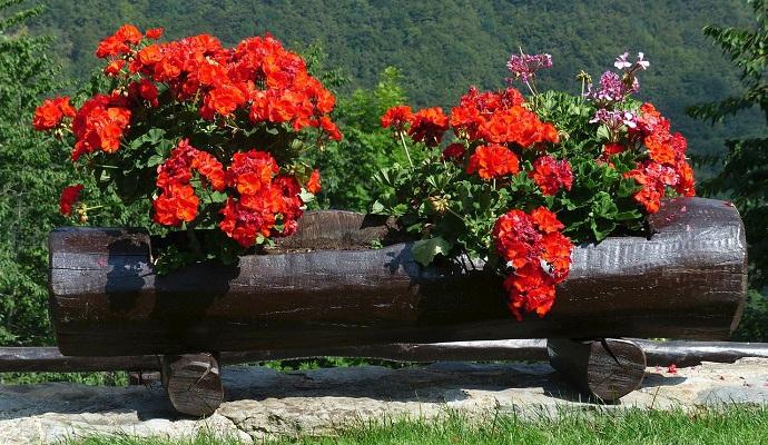 I když ještě krásně kvetou, přestávejte je hnojit. Rostlina musí soustředit sílu na přezimování a ne na hromadu podzimních květů.