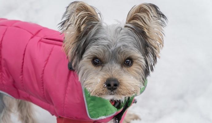 Pokud si nejste jistí, zda váš pes obleček potřebuje, všímejte si, jak se venku chová. Pokud se třese, i když se hýbe, ocení vrstvu navíc.